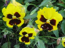 Pancy Flowers