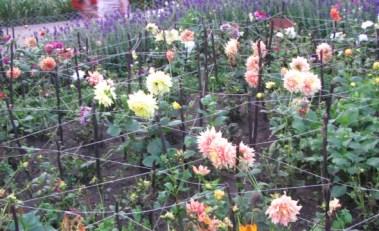 White and Cream Dahlia