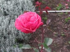 Kodaikanal Roses