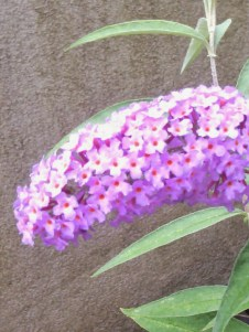 Butterfly Bush in close up