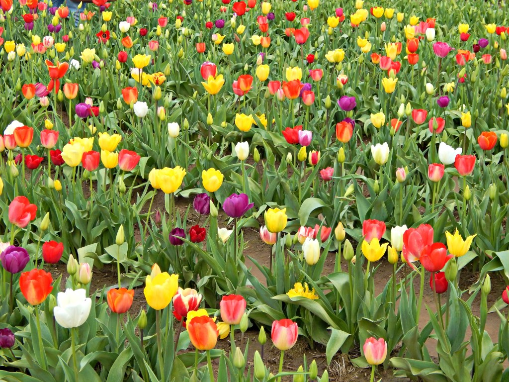 woodburn-tulip-festival-17