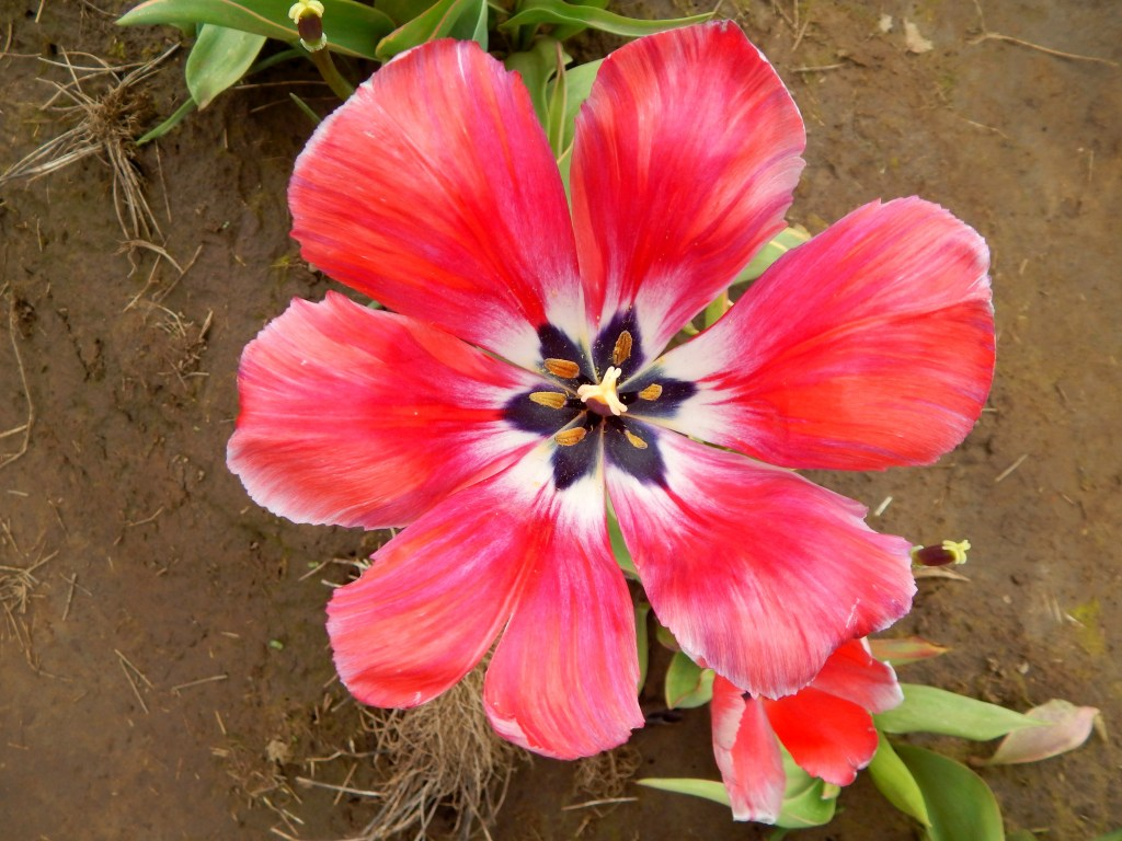 woodburn-tulip-festival-23