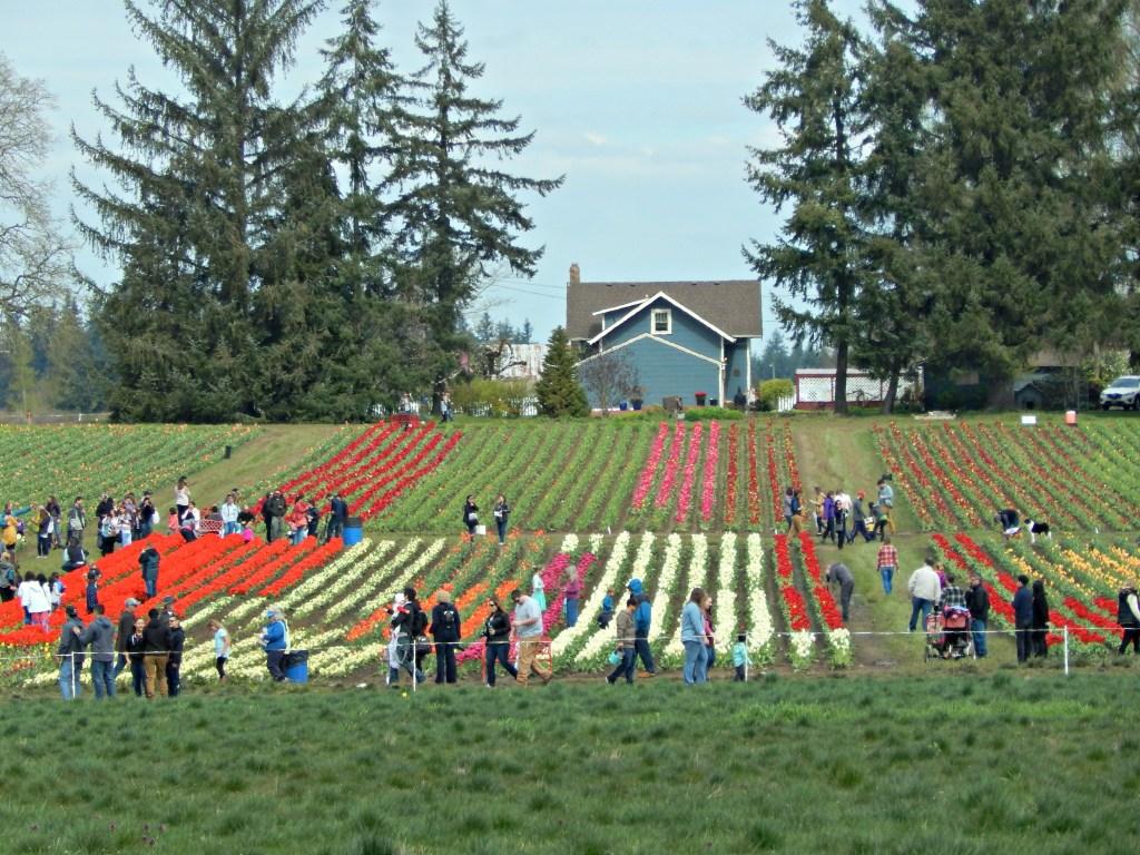 woodburn-tulip-festival-5