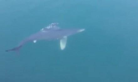 Mare senza barche: avvistati squali bianchi nel porto di Pozzuoli (VIDEO)