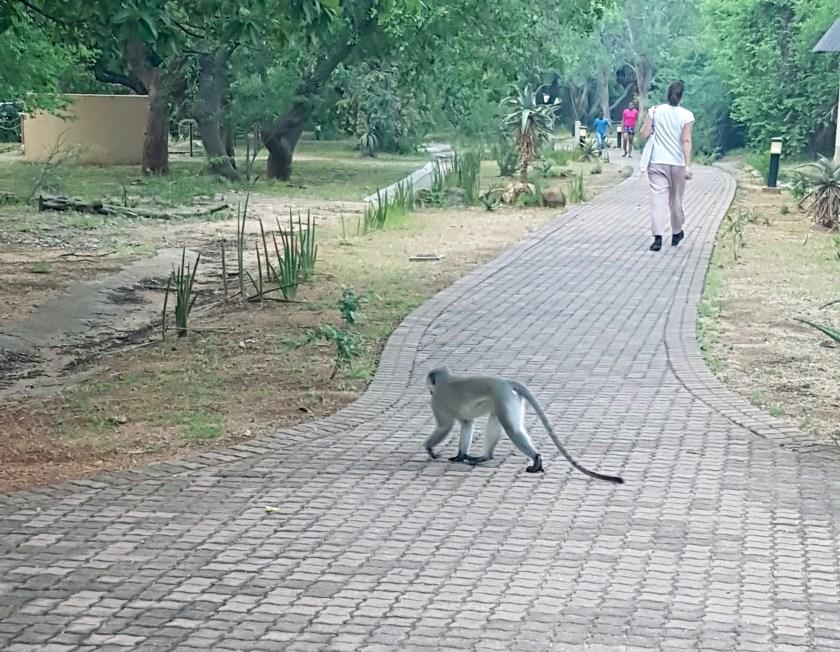 Skukuza Monkey
