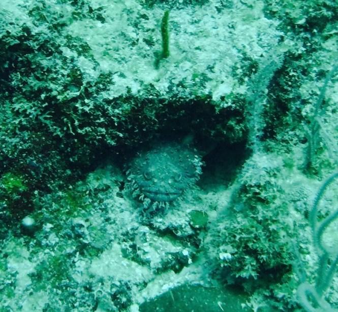 Toadfish Utila