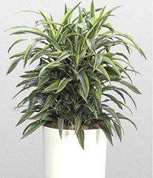 melopolitan-plantes-depolluantes-dracaena