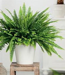 melopolitan-plantes-depolluantes-fougere-boston