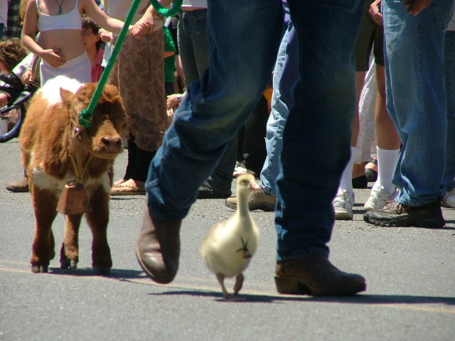 calf and a duckling in the mendocino fourth of july parade