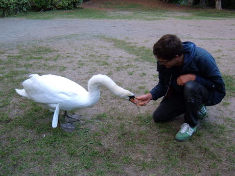feeding a swan from the hand
