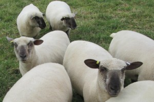 Rampisham Hill Farm Flock