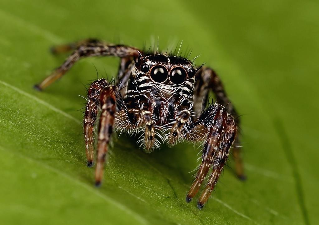 one of a kind pets: jumping spider