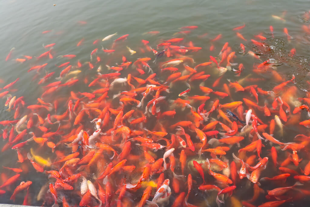 Many koi fish in the water at Zhouzhuang