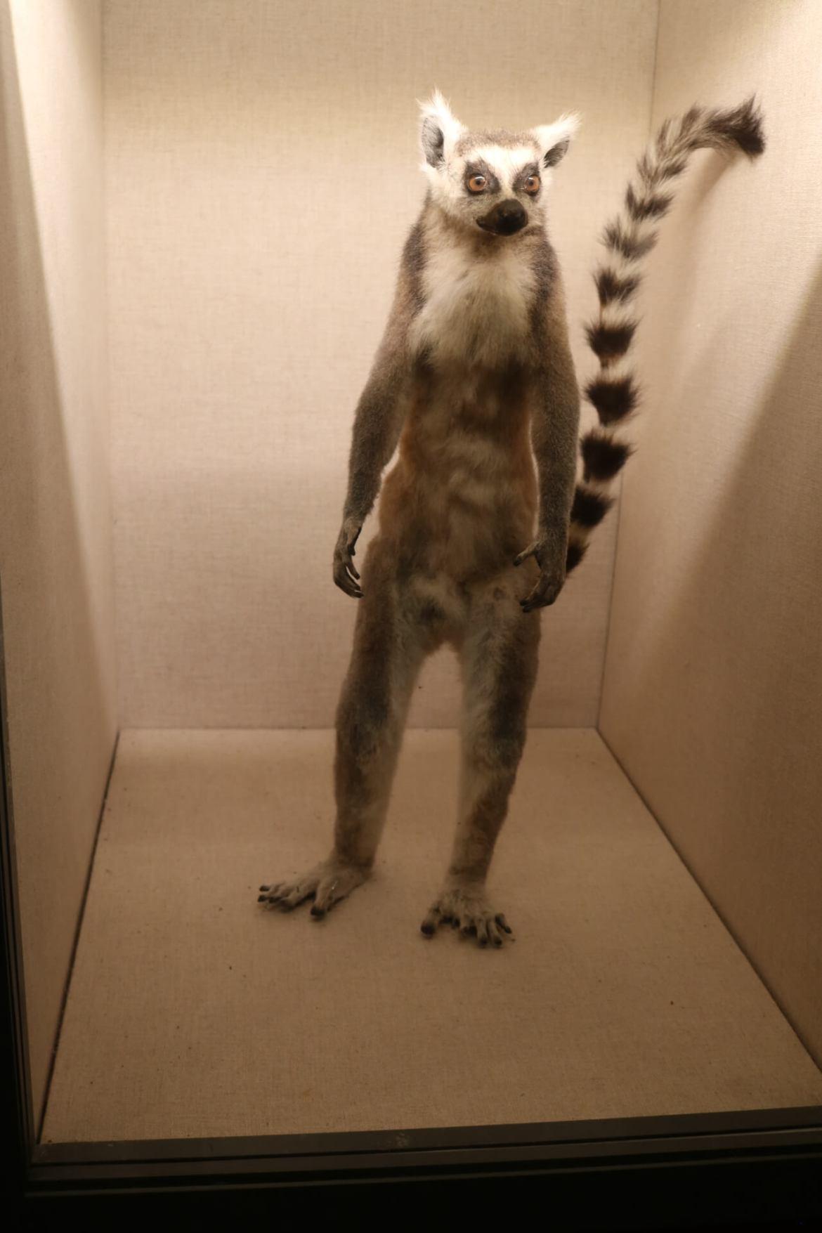 Shanghai Natural History Museum Lemur