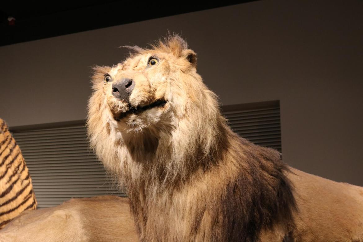 A taxidermied lion at the Shanghai Natural History Museum