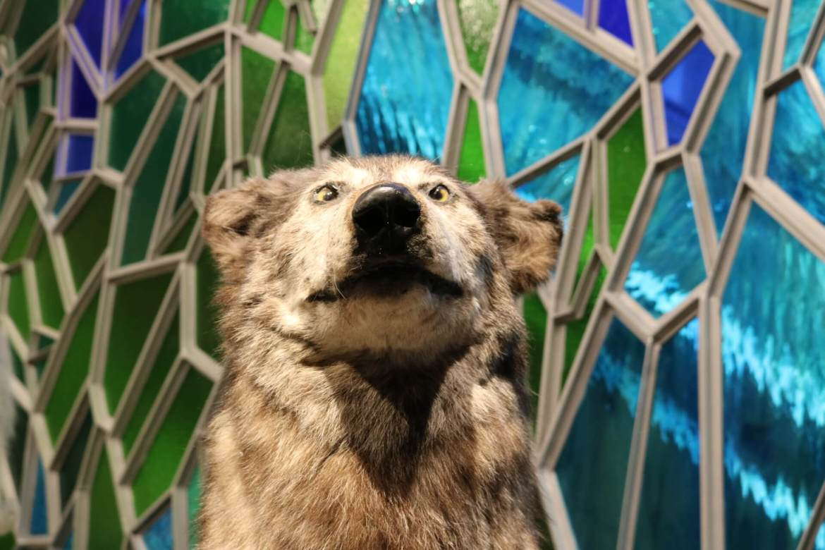 A taxidermied wolf at Shanghai Natural History Museum