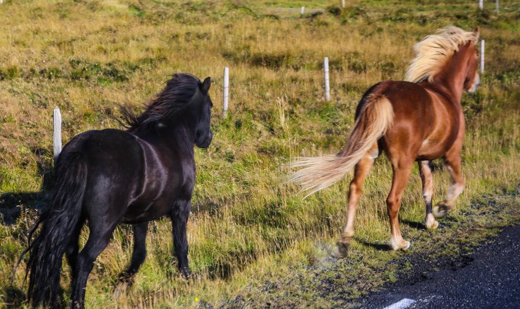 Icelandic horses running along the ring road.