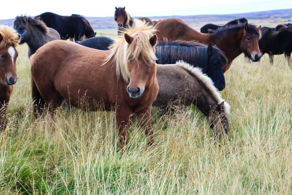 Icelandic Horses near Kolugljúfur