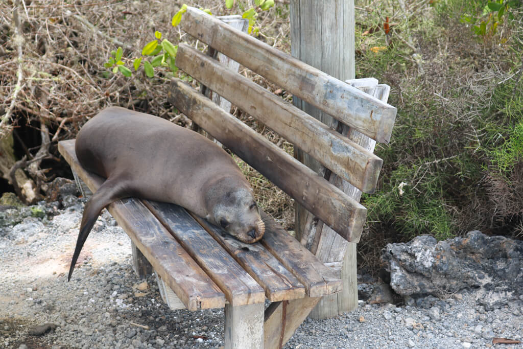A sea lion naps on a bench in Isabela Island, Galapagos