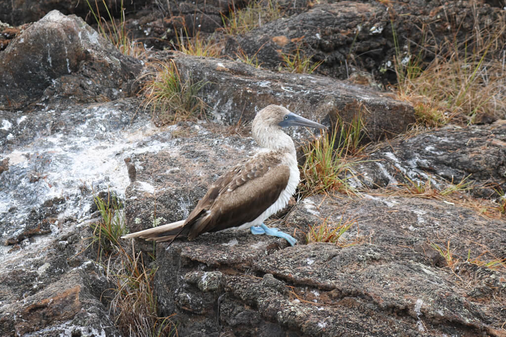 Blue-footed booby at Los Tuneles, Galapagos