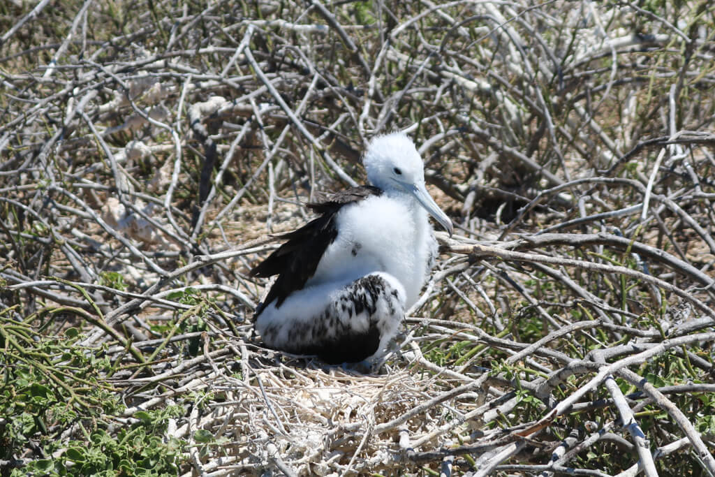 A fluffy white frigate bird chick on North Seymour Island in the Galapagos