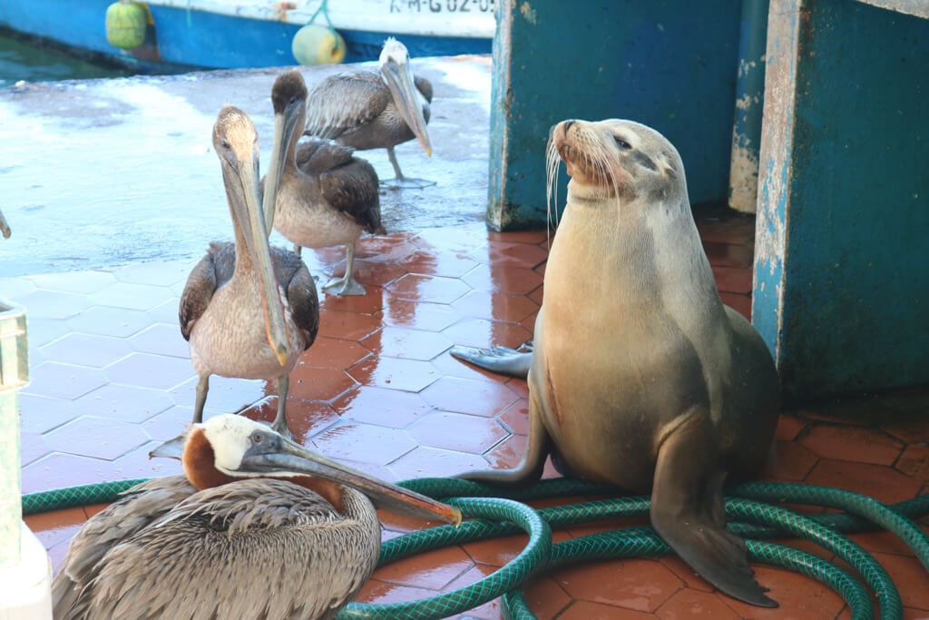 A sea lion and pelicans wait for fish at the fish market in Puerto Ayora, Galapagos Islands