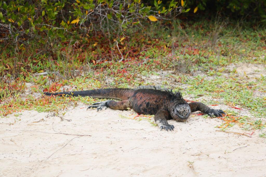 A marine iguana at Tortuga Bay, Galapagos