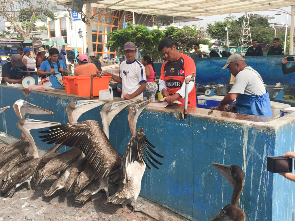 Hungry pelicans at Puerto Ayora Fish Market, Galapagos