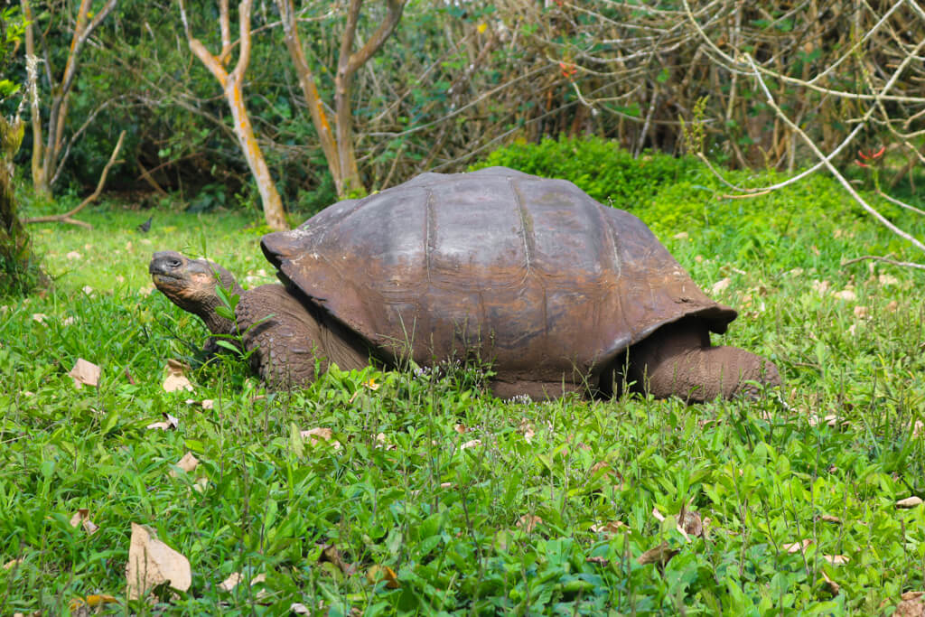 A Galapagos tortoise at Rancho El Chato on Santa Cruz island