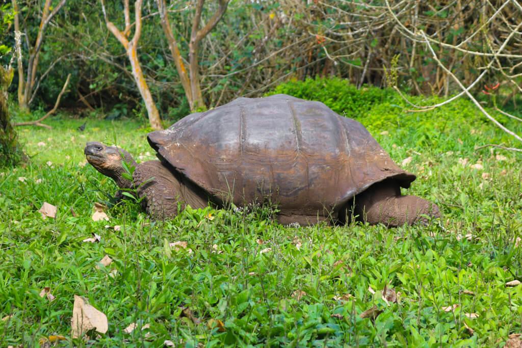 A Galapagos tortoise at Rancho El Chato on Santa Cruz island