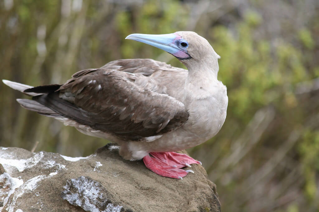 A red-footed booby in the Galapagos Islands