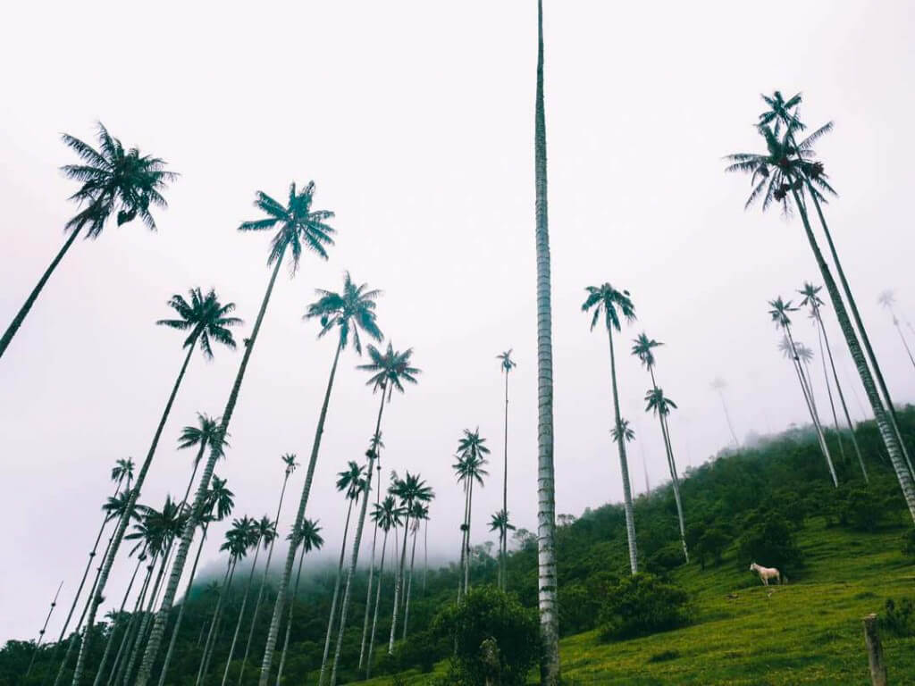 The Cocora Valley in Salento, Colombia, where you can find the world's tallest palm trees