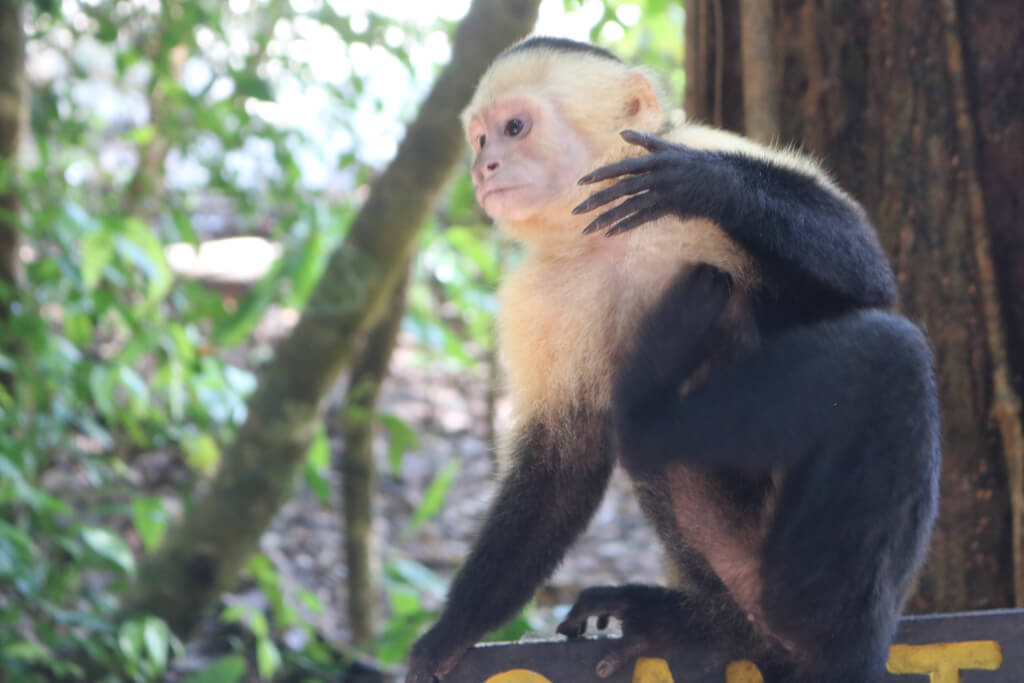 A white-faced capuchin monkey in Manuel Antonio Park shows off his long fingers
