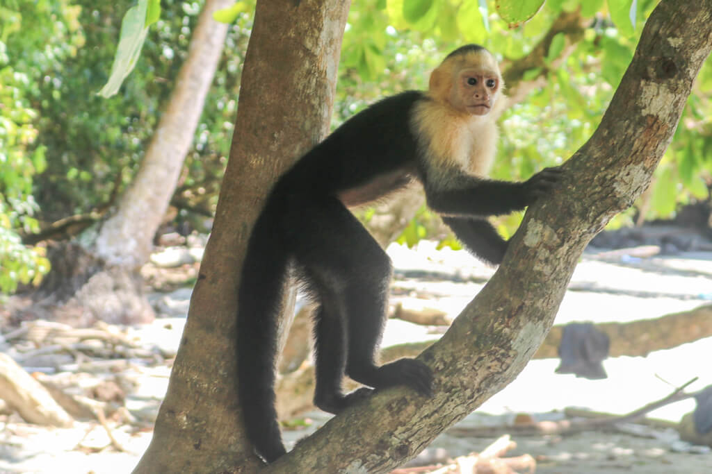 A white-faced capuchin monkey climbs a tree in Manuel Antonio National Park, Costa Rica