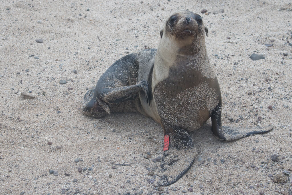 A sea lion pup on the beach on San Cristobal Island in the Galapagos