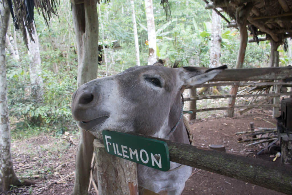 Filemon the Donkey, who works hard extracting sugar cane at the trapiche at Highland View Ranch in Santa Cruz, Galapagos