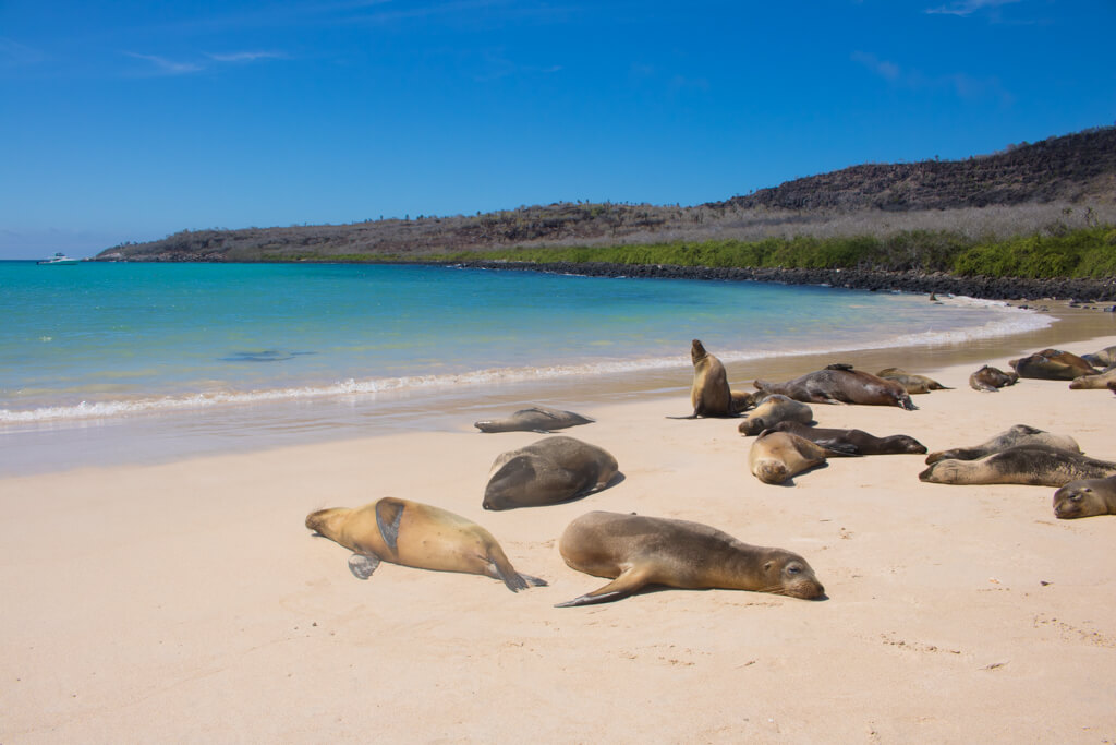 Sea lions relaxing on the beach on Santa Fe Island in the Galapagos