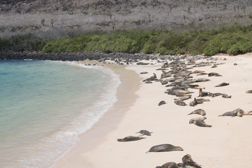 A huge sea lion colony rests on the beach on Santa Fe Island, Galapagos