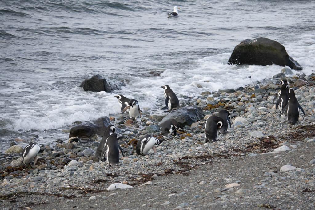 Magellanic Penguins play on the beach on Isla Magdalena