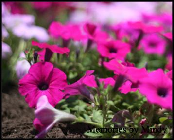 20080608 petunias
