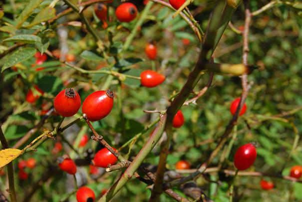 Liste des fruits sauvages comestibles dangereux ou toxiques
