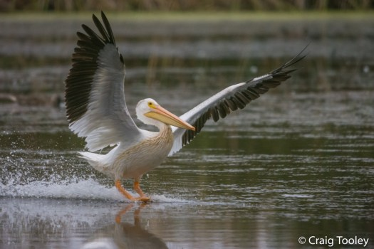 American White Pelicans - Mendonoma Sightings