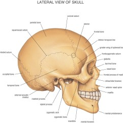 Diagram Of Skull Superior View Anatomy 2005 Dodge Ram Radio Wiring And Skulls On Pinterest
