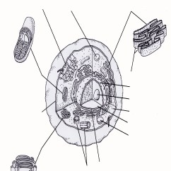 Plant Cell Diagram Black And White 1989 Honda Civic Dx Wiring Free Unlabeled Coloring Pages