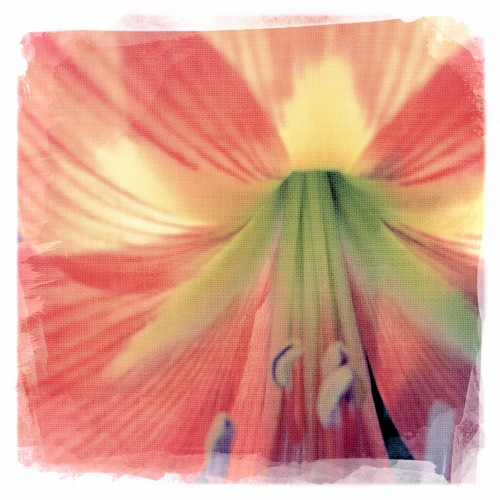 Amaryllis © lynette sheppard