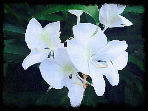 White Ginger Blossoms © lynette sheppard