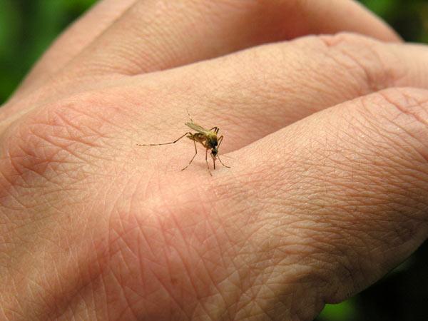 mosquitos genes
