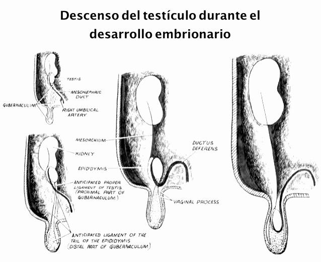 ¿Por qué un cólico nefrítico produce dolor testicular?