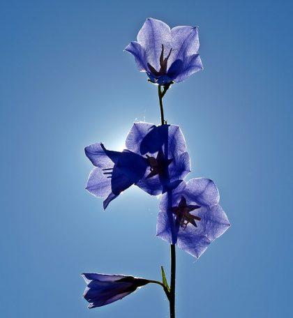 imagens de flores 4