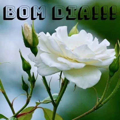 bom dia com rosas branca